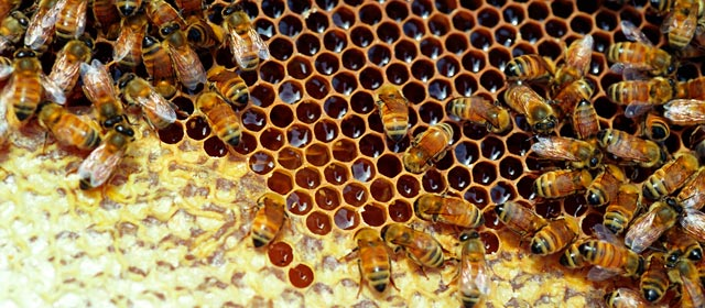 Bees working in a honey frame