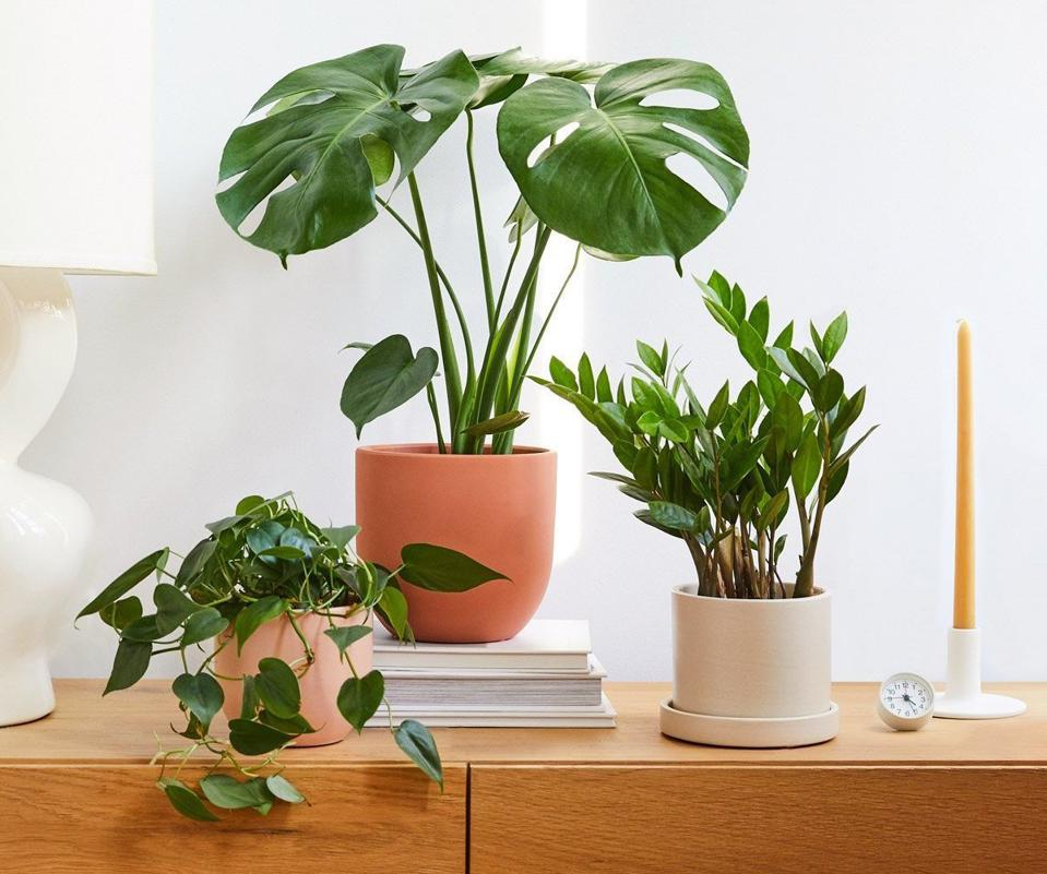 Healthy indoor plants - monstera, pothos and zamioculus