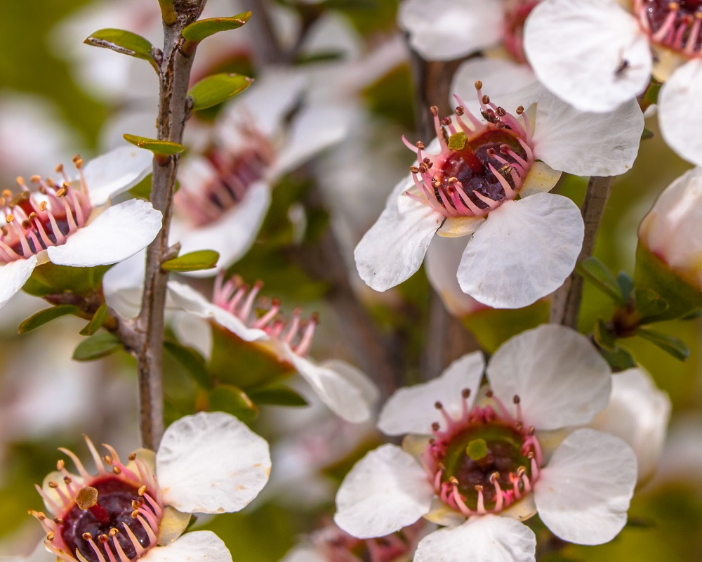 manuka flowers close up