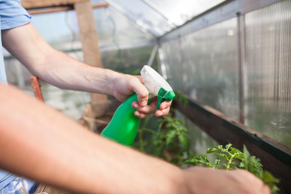 man hand spraying tomato plants with organic spray