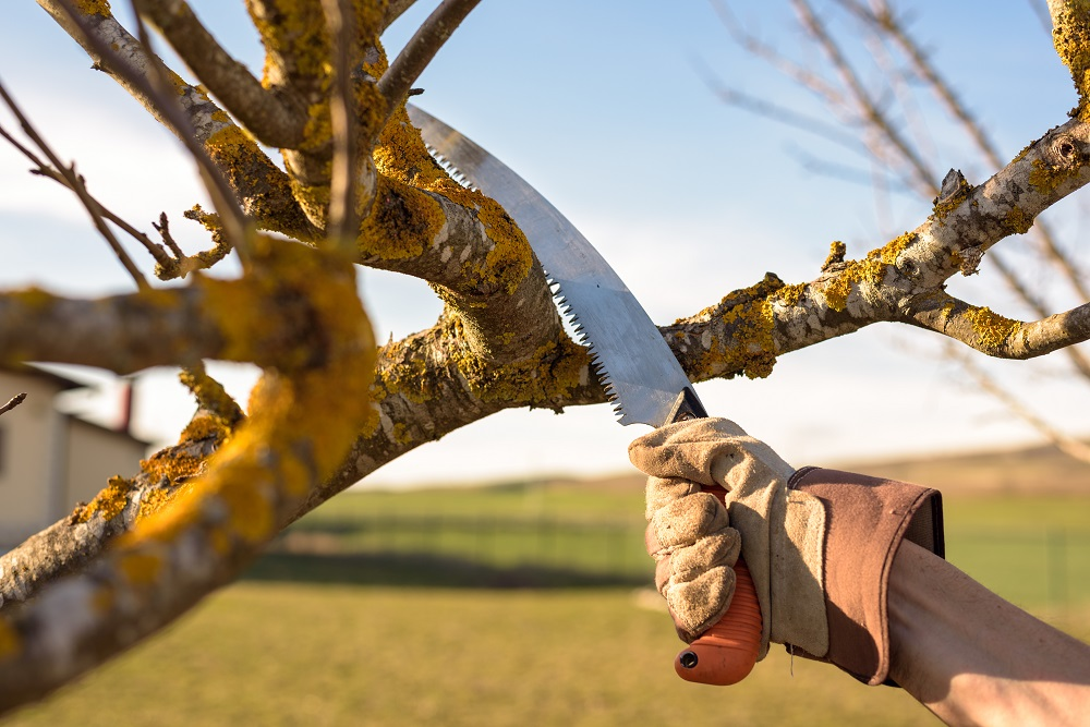 Using pruning saw to removed crossed branch